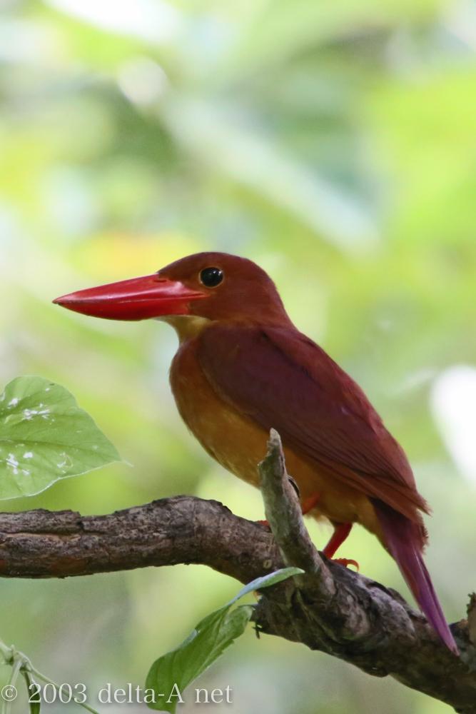 アカショウビン、石垣では幻の鳥になりつつある