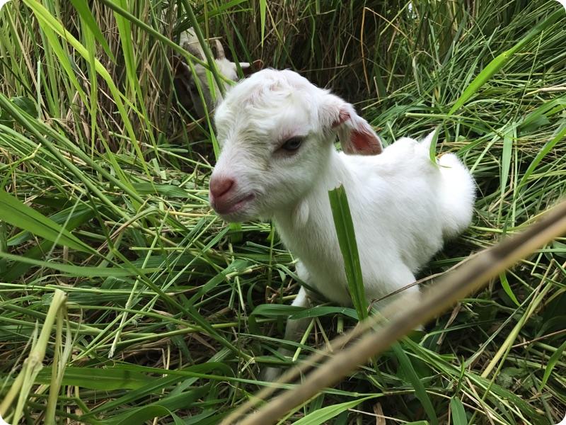 久しぶりにヤギの赤ちゃん産まれました