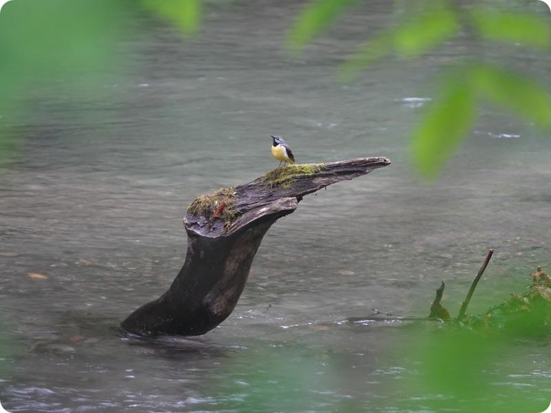 軽トラハウス、日本一周49日目。奥入瀬渓流に魅了