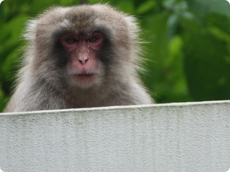軽トラハウス、日本一周50日目。日本猿に遭遇