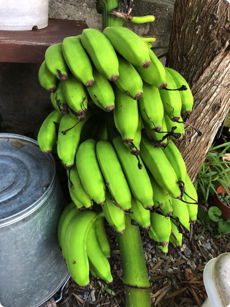 台風前にバナナ収穫