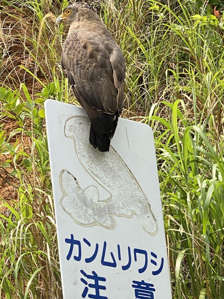 石垣島一周ツアー 開催。車をぶつけられた!? カンムリワシが絵から抜ける