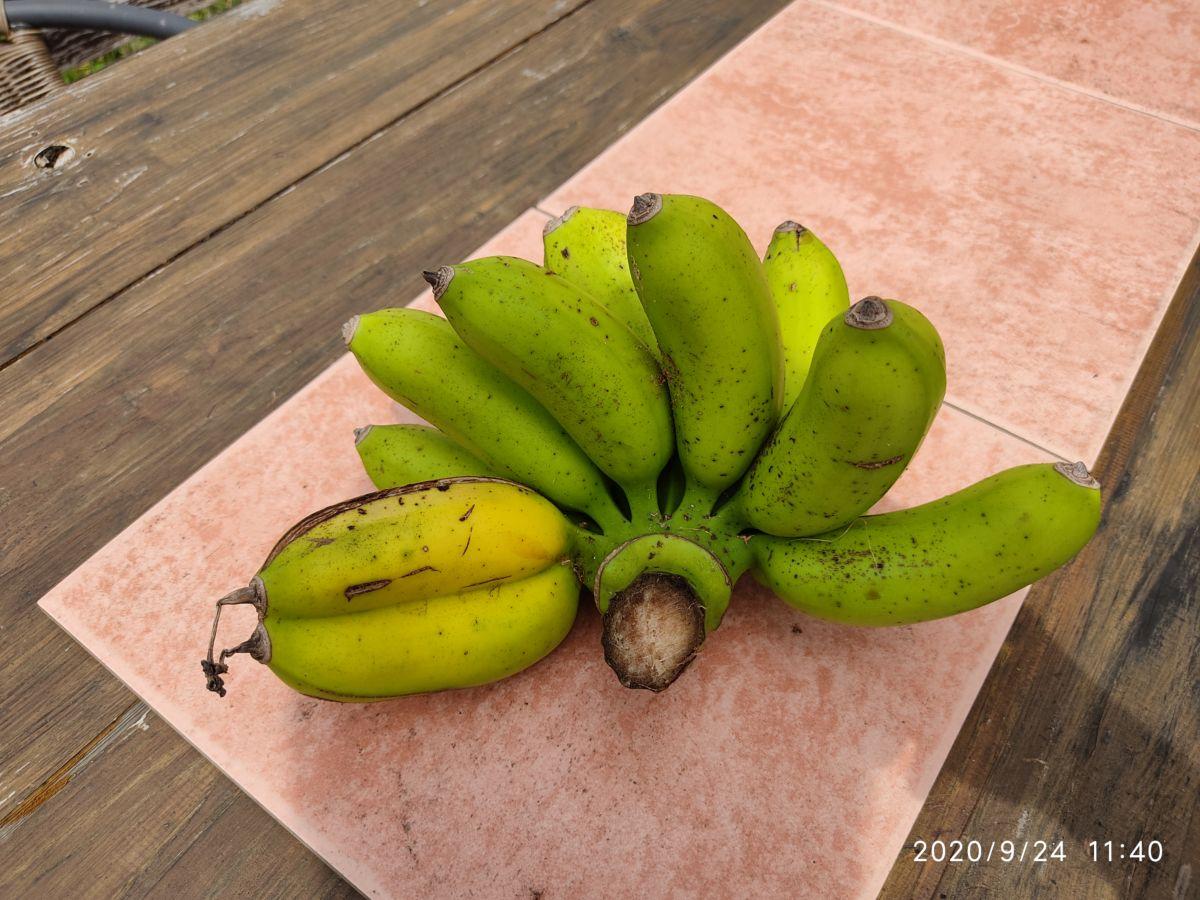伊良部さんが島バナナ格安で送ってくれるって