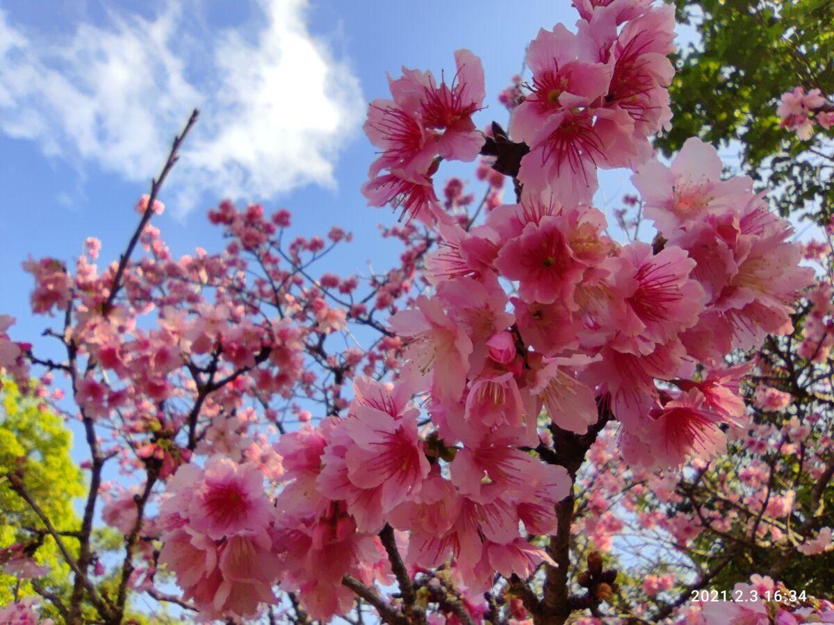 カンヒザクラ ヒカンザクラ 緋寒桜