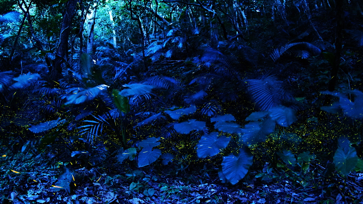 石垣島で今季初のホタル観察
