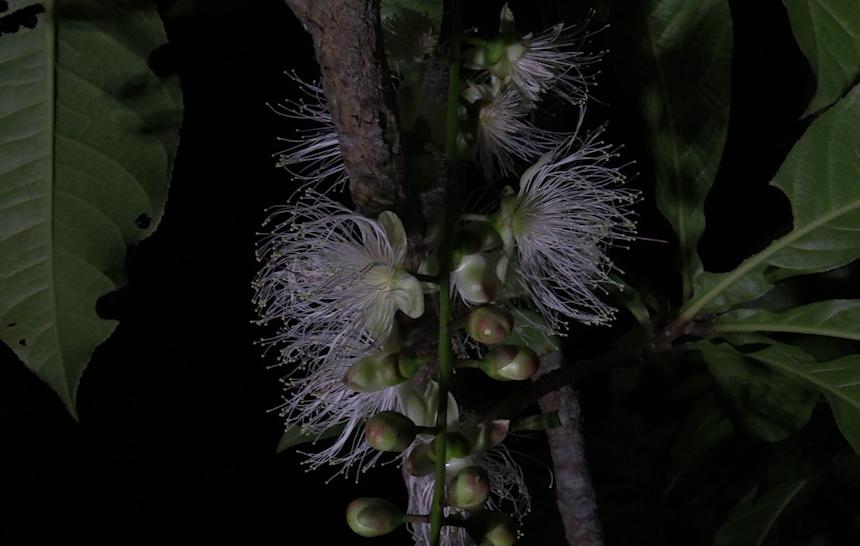 サガリバナ、5年ぶりの開花